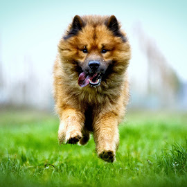 Eurasier running by Joern Fellenberg - Animals - Dogs Running ( meadow, fur, eurasier, dog, running )
