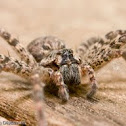 Fishing Spider