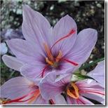 saffroncu