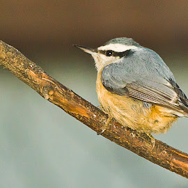 Chubby  Little Nuthatch by Sue Matsunaga - Novices Only Wildlife
