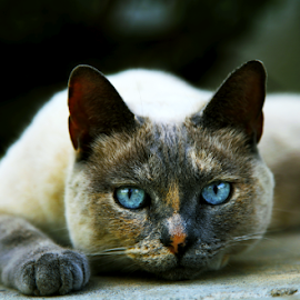 Blue Eyes by Binazir Asadi - Animals Other ( cat, blue )