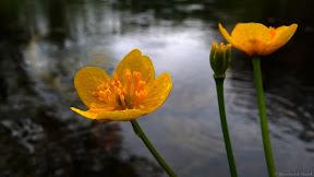 Dotterblume im Frühling
