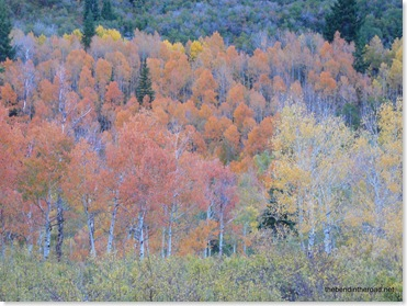 fiery Aspen grove