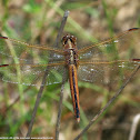 Needham's Skimmer dragonfly (female)