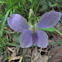 Common blue violet, pale form