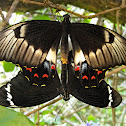 Orchard Swallowtail (mating)