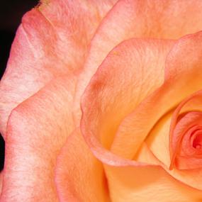 by Michael Sharp - Flowers Single Flower (  )
