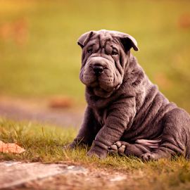 Bob Doggie :) by Chinchilla  Photography - Animals - Dogs Puppies ( blue shar pei, england, shar pei, chinchilla photography, autumn, puppy, dog,  )