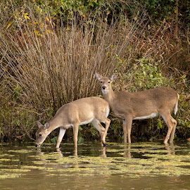 Wading Whitetail 2 by Gretchen Steele - Animals Other Mammals ( whitetail deer, deer in lake, doe, doe and fawn, amimals, fawn, deer )