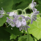 appendaged waterleaf