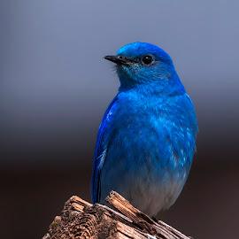Mountain Bluebird by James Harrison - Animals Birds ( male mountain bluebird, bluebird, yellowstone, wildlife, birds )