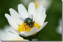 Puslingkrage og gullflue