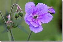Geranium pratense plenum caeruleum