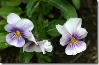 Viola &#39;Penny Orchid&#39;