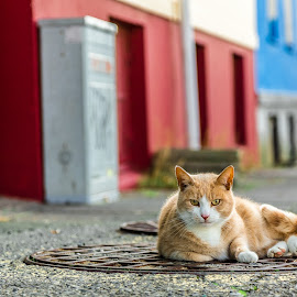 Icelandic Cat Stare by Stephen Bridger - Animals - Cats Portraits ( cat, europe, stare, travel, manhole cover, ginger cat, cat stare, street photography, cats, iceland, colourful, reykjavik, pet, pets, travel photography )