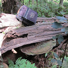Woody Bracket Polypore
