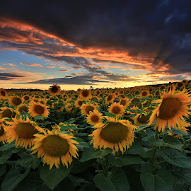 uncountable sunflowers by Matej Kováč - Landscapes Prairies, Meadows & Fields ( colour, clouds, field, sunset, sunflowers, landscapes, Hope,  )