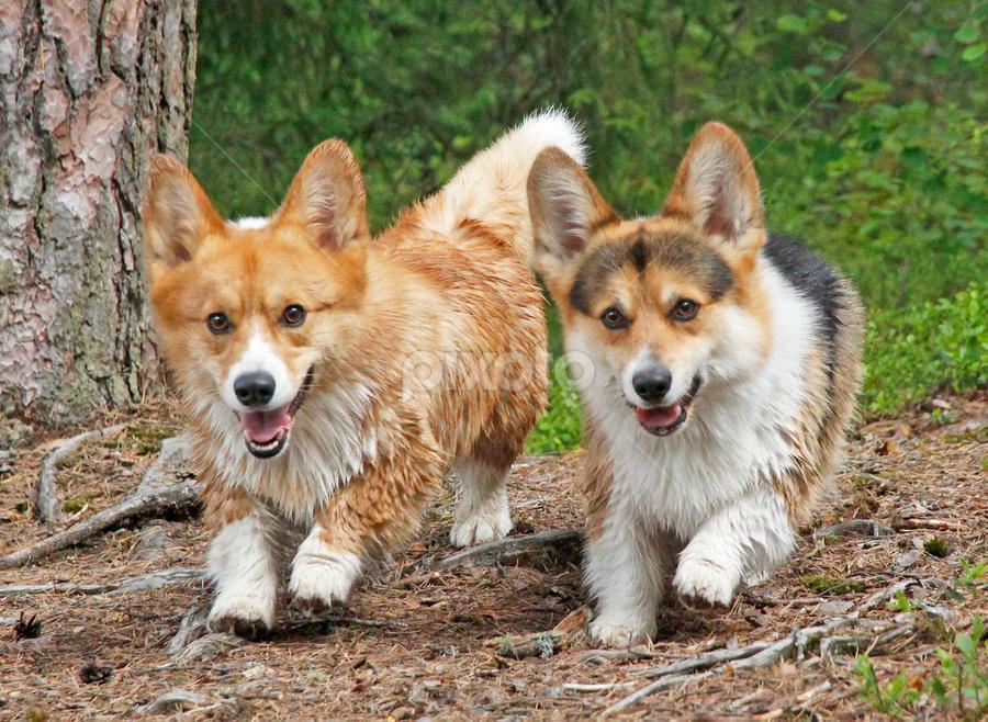 Corgi fun by Mia Ikonen - Animals - Dogs Running ( canine, pet, happy, action, pembroke welsh corgi, finland, fun, dog, motion, cute, running, mia ikonen )