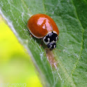 Polished Lady Beetle