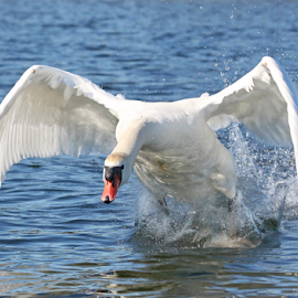 Mute Swan attack by Mia Ikonen - Animals Birds ( mute swan, male, finland, attack, aggressive )