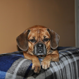Why am I posing for this picture? by Janice Burnett - Animals - Dogs Portraits ( pet, puggle, family pet, dog, posing )