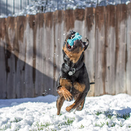 Snow Day  by Janice Carabine - Animals - Dogs Playing ( playing, snow, dog, rottweiler )