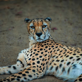 Lazer eyes.. by Kevin Mummau - Novices Only Wildlife ( big cat, big cats, stare, wildlife )