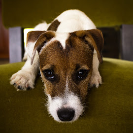 Little bit by Jodi Olson - Animals - Dogs Portraits ( parsons jack russell terrier, puppy, dog )