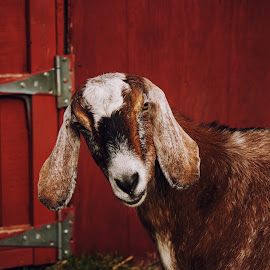 Goat by Erin Madsen - Animals Other Mammals ( goat, farm animal, cute, photography )
