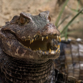 caiman crocodilus by Pietro Ebner - Animals Reptiles ( reptiles, crocodilus, caimano, caiman, spectacled, occhiali,  )