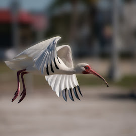 Ibis  by Nicole Meloche - Animals Birds ( ibis bird oiseau envol flight sud south )