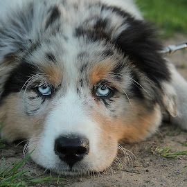 Australian Shepherd by Marjan Smit - Animals - Dogs Puppies ( hond, blauwe ogen, blue eyes, puppy, australian shepherd, dog )
