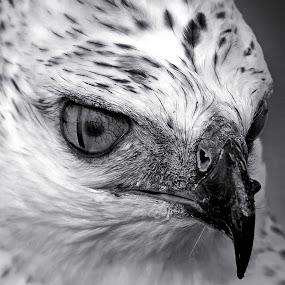 Hawk BW by AbngFaisal Ami - Black & White Animals (  )