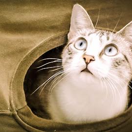 box by Hugo Rebelo - Animals - Cats Portraits