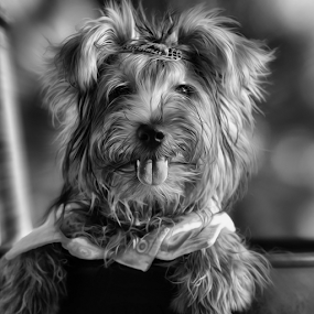 Another Pose ? by Ferdinand Ludo - Black & White Animals ( pose, playful, camera, 6 month old yorkie, king )
