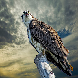 Osprey at sunrise by Sandy Scott - Digital Art Animals ( birds of prey, fishing birds, florida birds, raptor, birds, osprey,  )