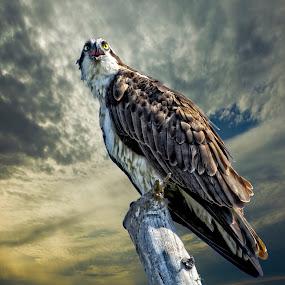 Osprey at sunrise by Sandy Scott - Digital Art Animals ( birds of prey, fishing birds, florida birds, raptor, birds, osprey,  )