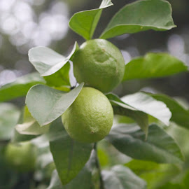 Roman Limes by Pam Lukeman - Nature Up Close Gardens & Produce ( rome, green, limes, italy, hanging fruit,  )