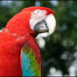 Papegaai by Etienne Chalmet - Animals Birds ( animals, colors, birds )