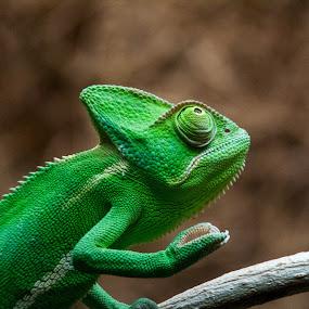 chameleon by Pietro Ebner - Animals Reptiles ( camaleonte, green, verde, chameleon,  )