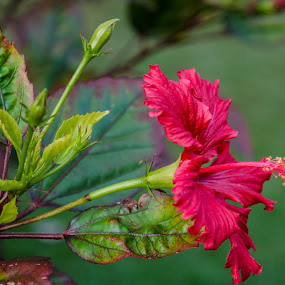 Hibiscus by Diane Flynn - Flowers Single Flower ( plant, hibiscus, pink, leaves, garden, pretty, flower,  )
