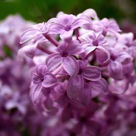 Purple Passion by Mark  R.  Worden - Nature Up Close Trees & Bushes ( up close, purple, flowers, lilacs, floral,  )