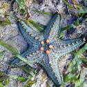 Star Fish Pentaceraster