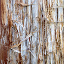 Cedar bark (Eastern Red Cedar)