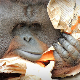 Such a character! by Kathryn Willett - Animals Other ( orang utan, zoo, captive, primate, photography )