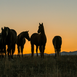 Morning Coffee Meeting by Richard Horst - Animals Horses ( horses, montana, sunrise, morning )