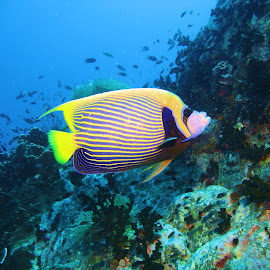 Emperor Angel by Phil Bear - Animals Fish ( coral, reef, fish, thailand, angelfish )