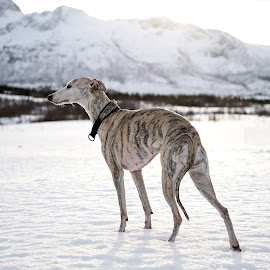 Whippet by Marius Birkeland - Animals - Dogs Portraits ( dogs, snow, dog, sun, whippet )