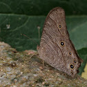 Oriental Common Evening Brown