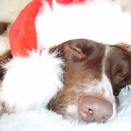 how meny sleeps now  by Nicky Smith - Animals - Dogs Portraits ( dog sleep hat red petty,  )